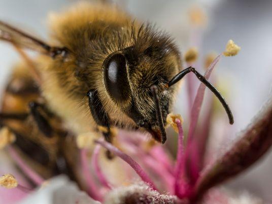 Honigbienen sind Mikroplastik-Magneten