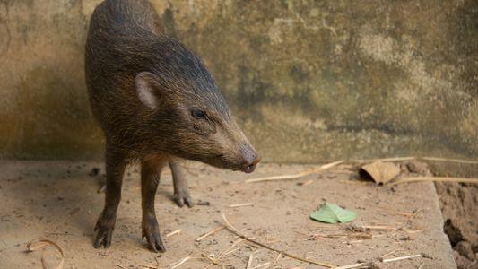 Doch nicht ausgestorben: Das Zwergwildschwein kehrt in die Wildnis zurück