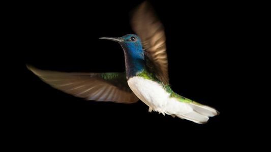 Gleichberechtigung bei den Kolibris: Warum Weibchen manchmal wie Männchen aussehen