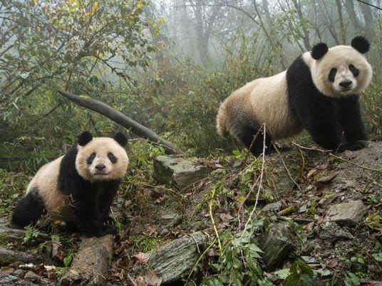 Erfolg beim Artenschutz: Riesenpanda in China nicht mehr gefährdet