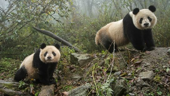 Ein in Gefangenschaft lebender Panda und sein Junges erkunden ihr Gehege im Wolong China Conservation and ...