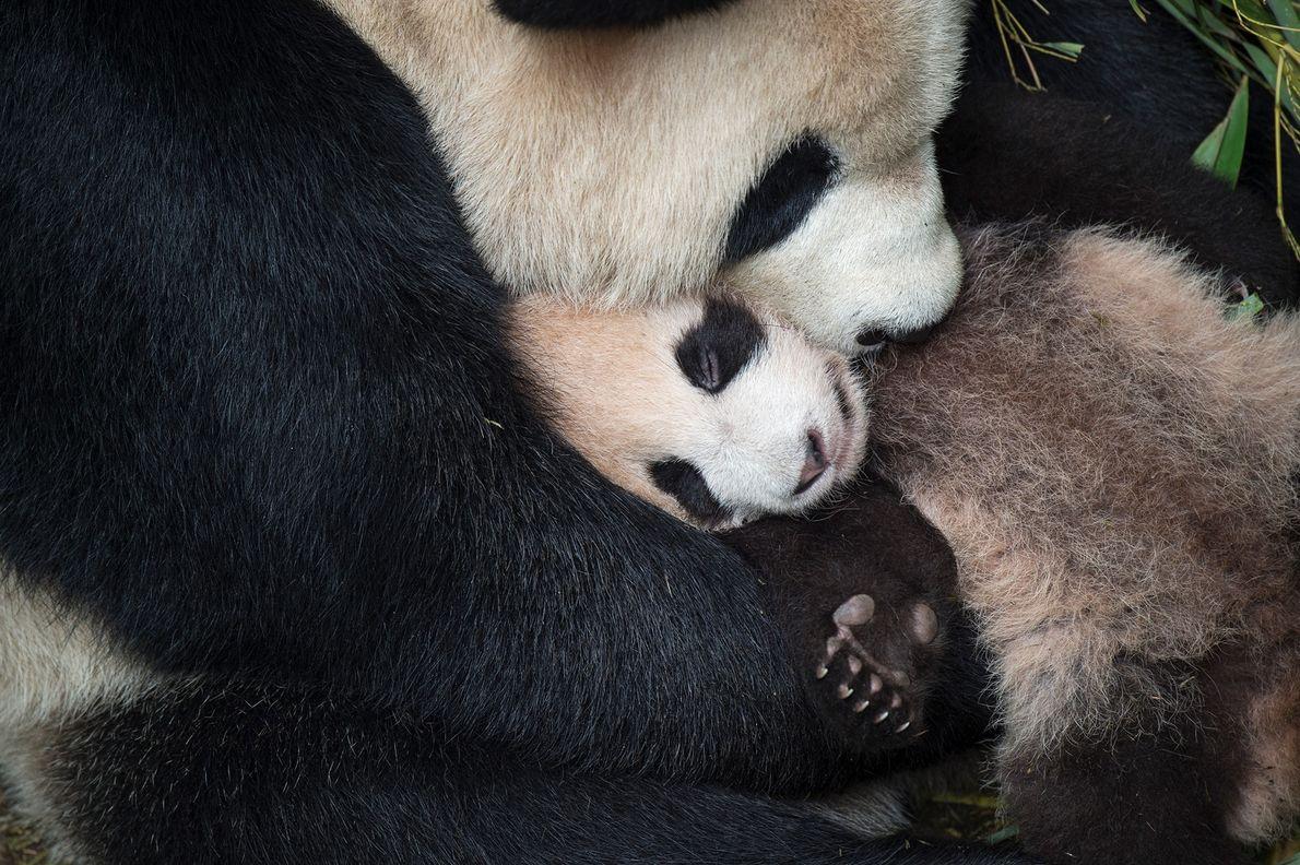 Ein Großer Panda kuschelt mit seinem Nachwuchs im Wolong Conservation and Research Center in China. Die Jungtiere ...