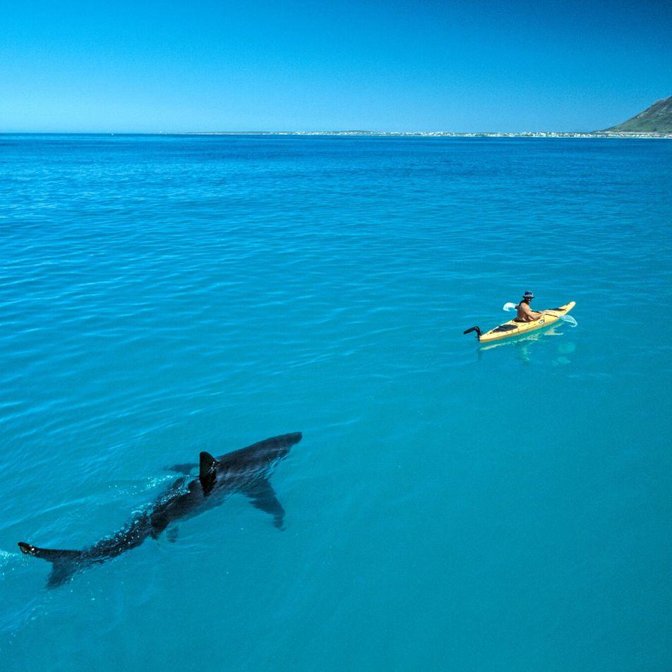 Ein Hai-Foto und seine Karriere