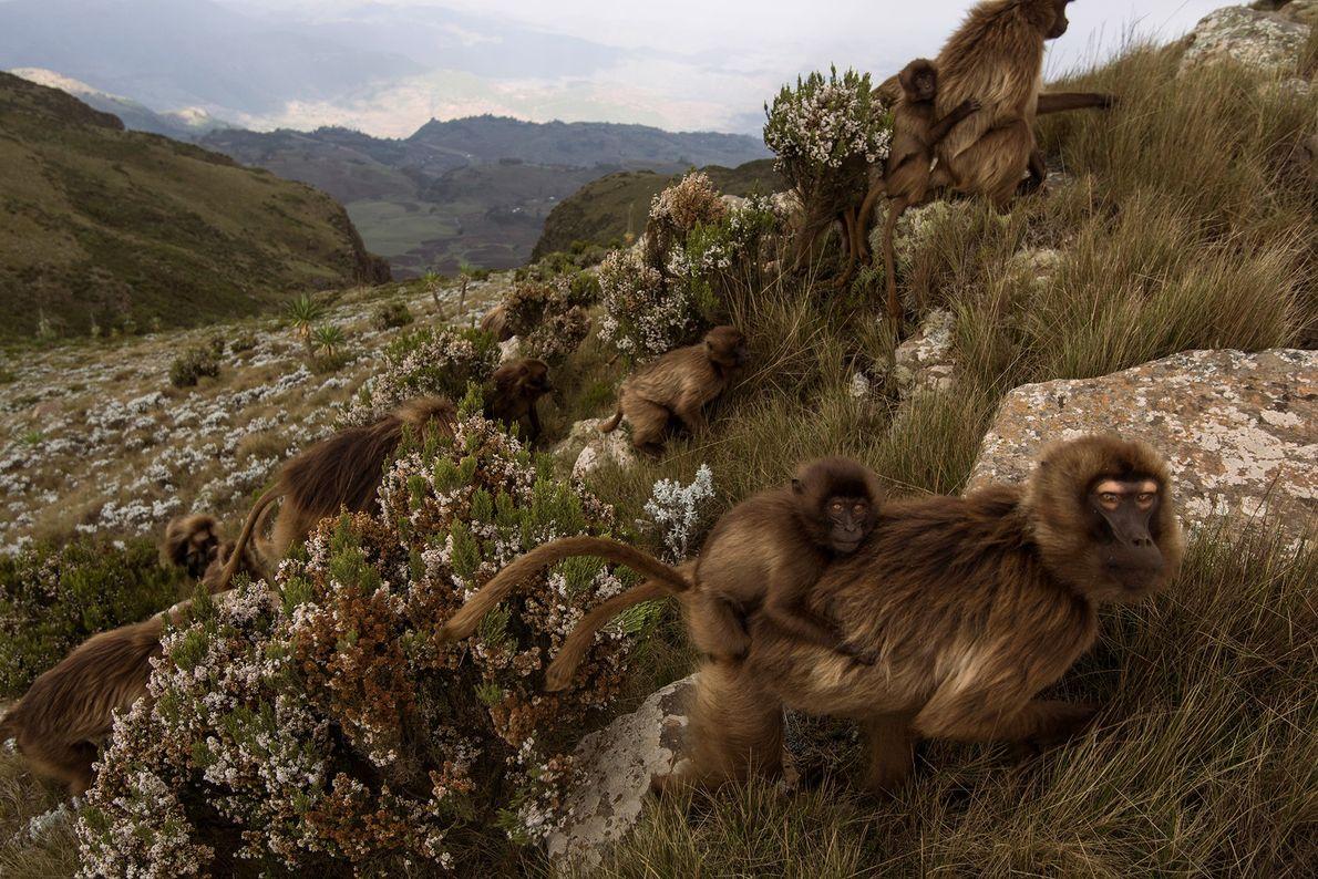 Dscheladas werden regelmäßig mit Pavianen verwechselt. Tatsächlich sind sie die einzigen verbleibenden Vertreter der Gattung Theropithecus, ...
