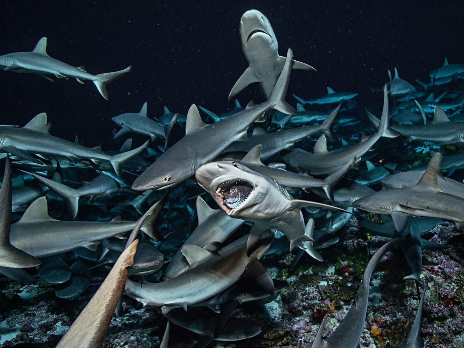 Graue Riffhaie, die im Indopazifik häufig vorkommen, fressen Langnasen-Nasendoktorfische.