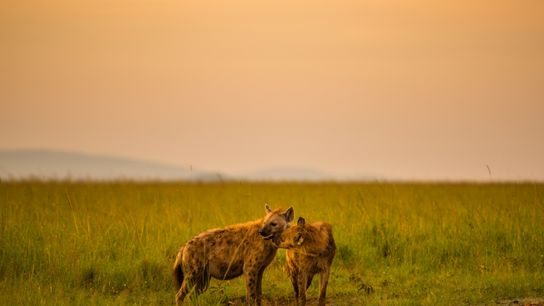 Ein Tüpfelhyänenjunges leckt seine Mutter im Masai Mara-Nationalpark in Kenia.