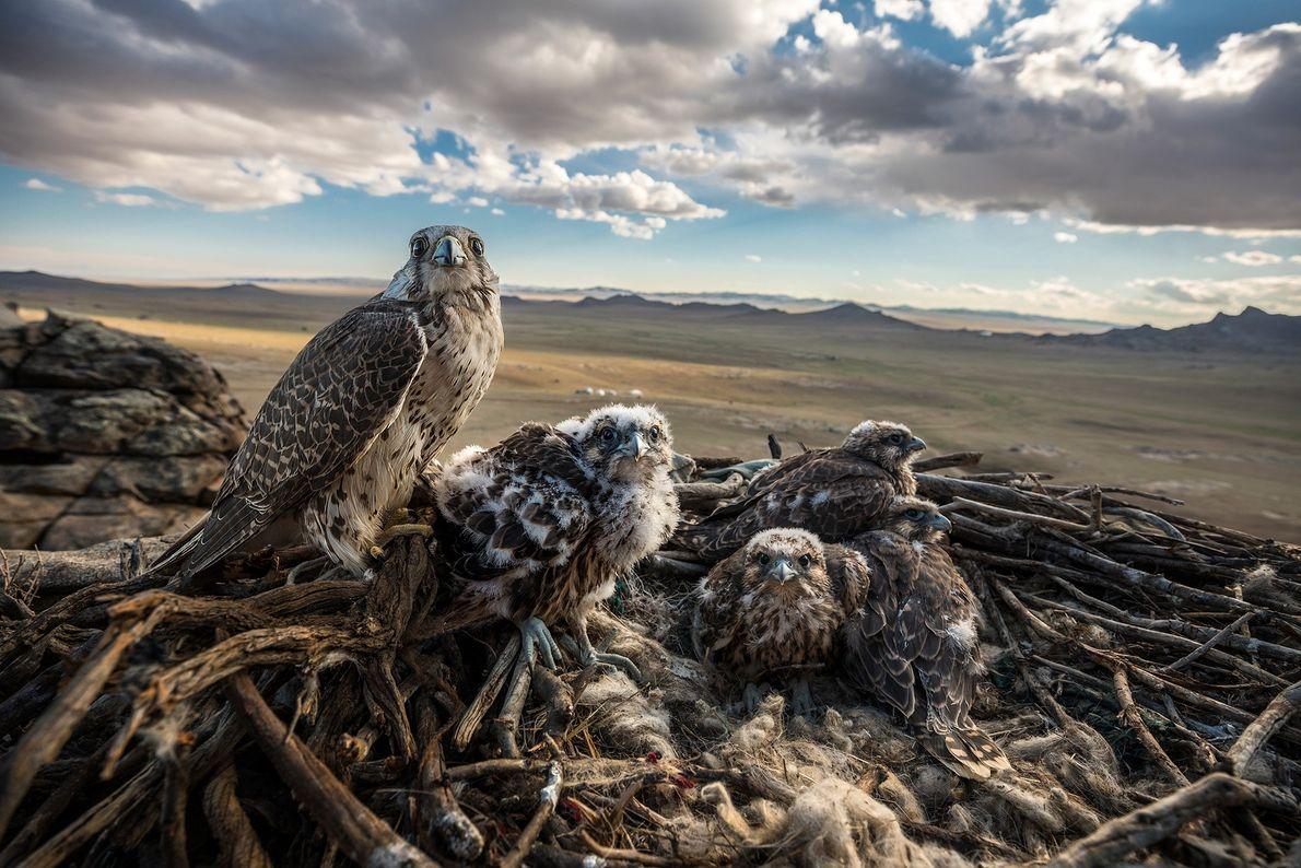 Ein Würgfalke oder Sakerfalke genießt mit seinen Küken den Ausblick über die weite mongolische Steppe. Die ...