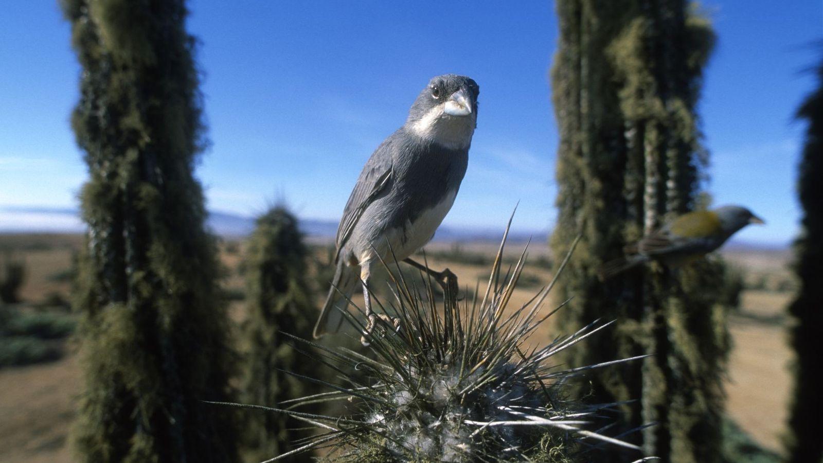 Ein kleiner Vogel sitzt auf den Stacheln eines Kaktus. Durch die geringe Schärfentiefe wird klar, dass ...