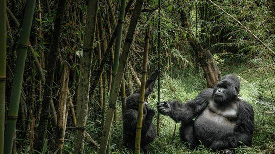 Ein Silberrücken und ein junger Gorilla fressen Bambusrohre im Mount Gahinga-Nationalpark in Uganda.