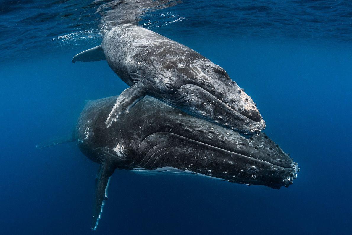 Buckelwale bekommen nur alle zwei bis drei Jahre Nachwuchs und überschütten ihr Jungtier mit Aufmerksamkeit. Junge ...