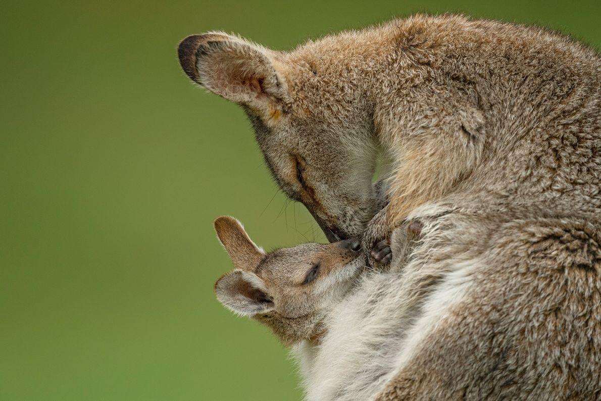 Ein Rotnackenwallaby und sein Jungtier kuscheln im Bunya-Mountains-Nationalpark in Queensland, Australien. Rotnackenwallabys sind nur einen Monat ...
