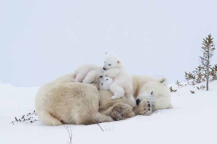 Eine Eisbärenmutter ruht sich im Wapusk-Nationalpark im kanadischen Manitoba aus, nachdem sie ihre Jungen gesäugt hat. Eisbären ...