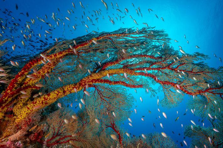 Korallen wie diese im Tubbataha-Riff-Nationalpark sind Bioindikatoren.