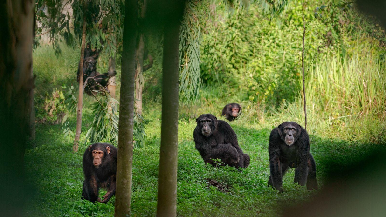 Eine Gruppe von Schimpansen in Uganda. Manche Anführer von Schimpansengruppen regieren mit eiserner Faust, während andere ...
