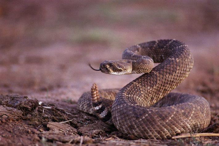 Eine Texas-Klapperschlange bringt sich in Position.