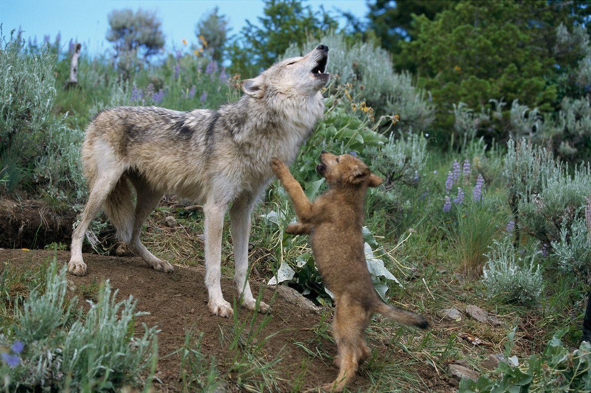 Angespornt durch das Heulen seiner Mutter springt ein junger Wolf in Montana aufgeregt an ihr hoch. Wolfsfamilien ...