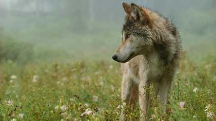 Idaho: 90 % des Wolfsbestandes zum Abschuss freigegeben