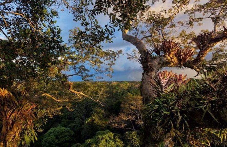 Von den Bromelien und Orchideen, die einen Kapokbaum in 50 Meter Höhe bewachsen, bis hinunter zu ...