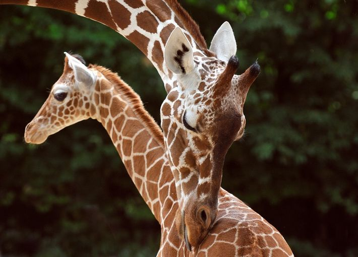 Giraffen im Kölner Zoo