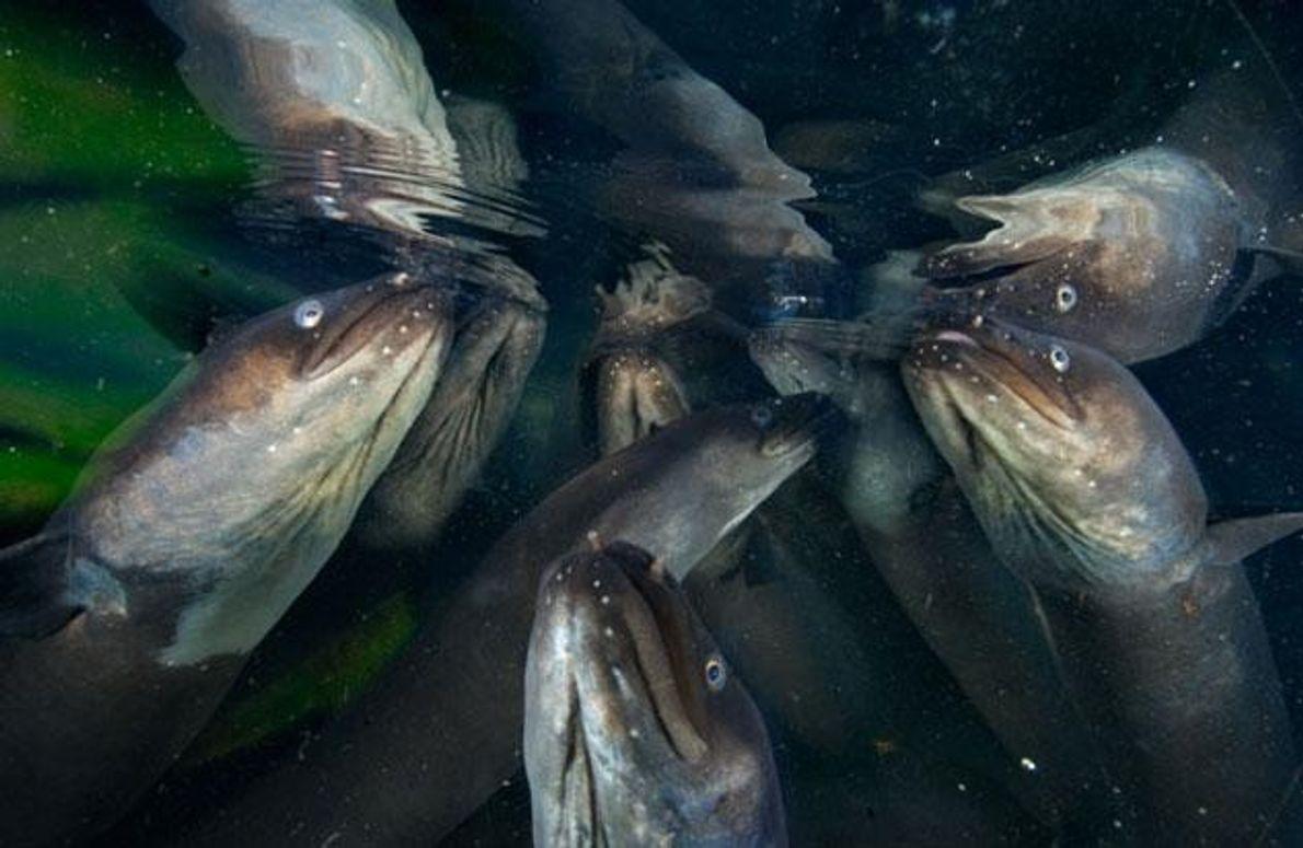 Neuseeländische Langflossenaale sind Riesen: Manche leben mehrere Jahrzehnte, werden zwei Meter lang und 35 Kilo schwer. …