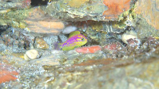 Neuer Neonfisch in Tiefwasserriff entdeckt