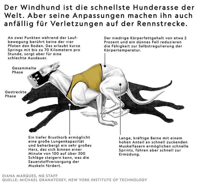 Was den Windhund zur schnellsten Hunderasse macht, macht ihn auch anfällig für Verletzungen auf der Rennstrecke.