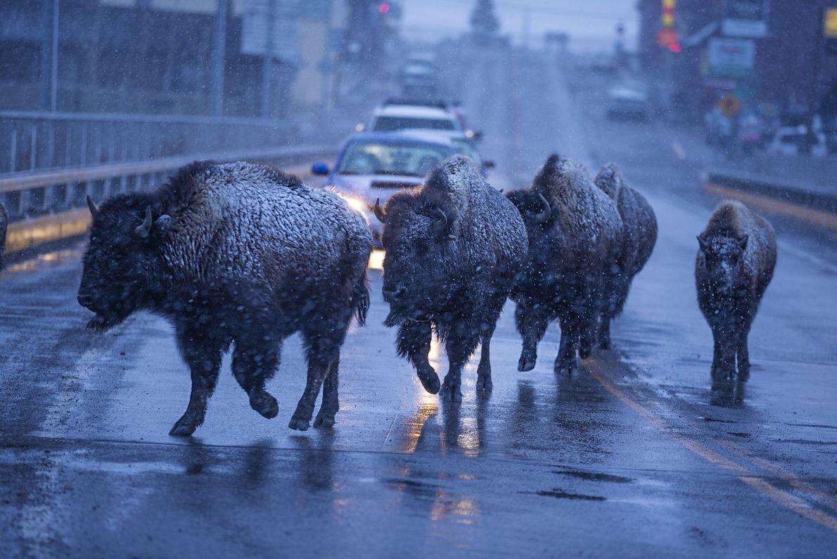 Ich bremse für Bisons