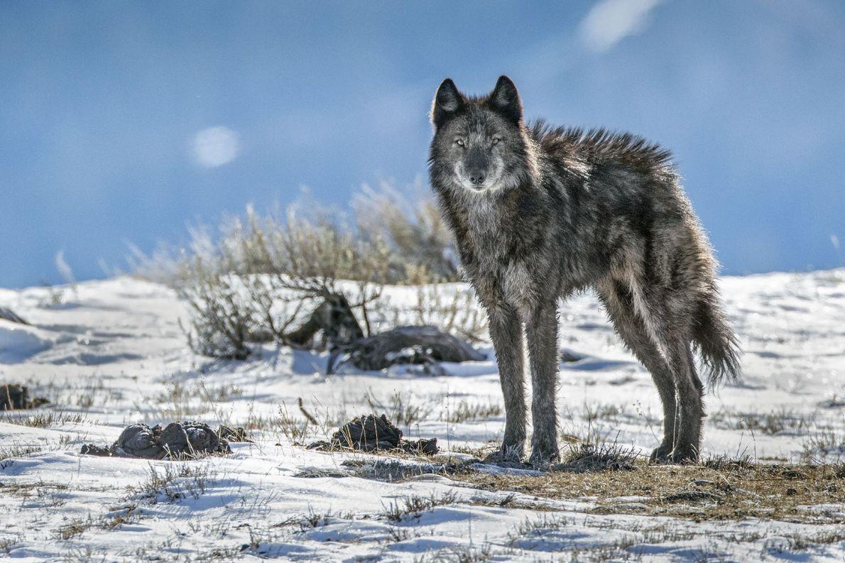 Die Rückkehr des Wolfs