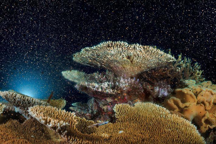 Koralleneier und -spermien wirbeln über dem Moore Reef
