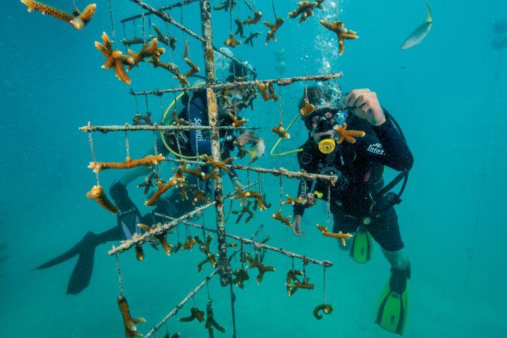 Taucher untersucht Stecklinge von Geweihkorallen