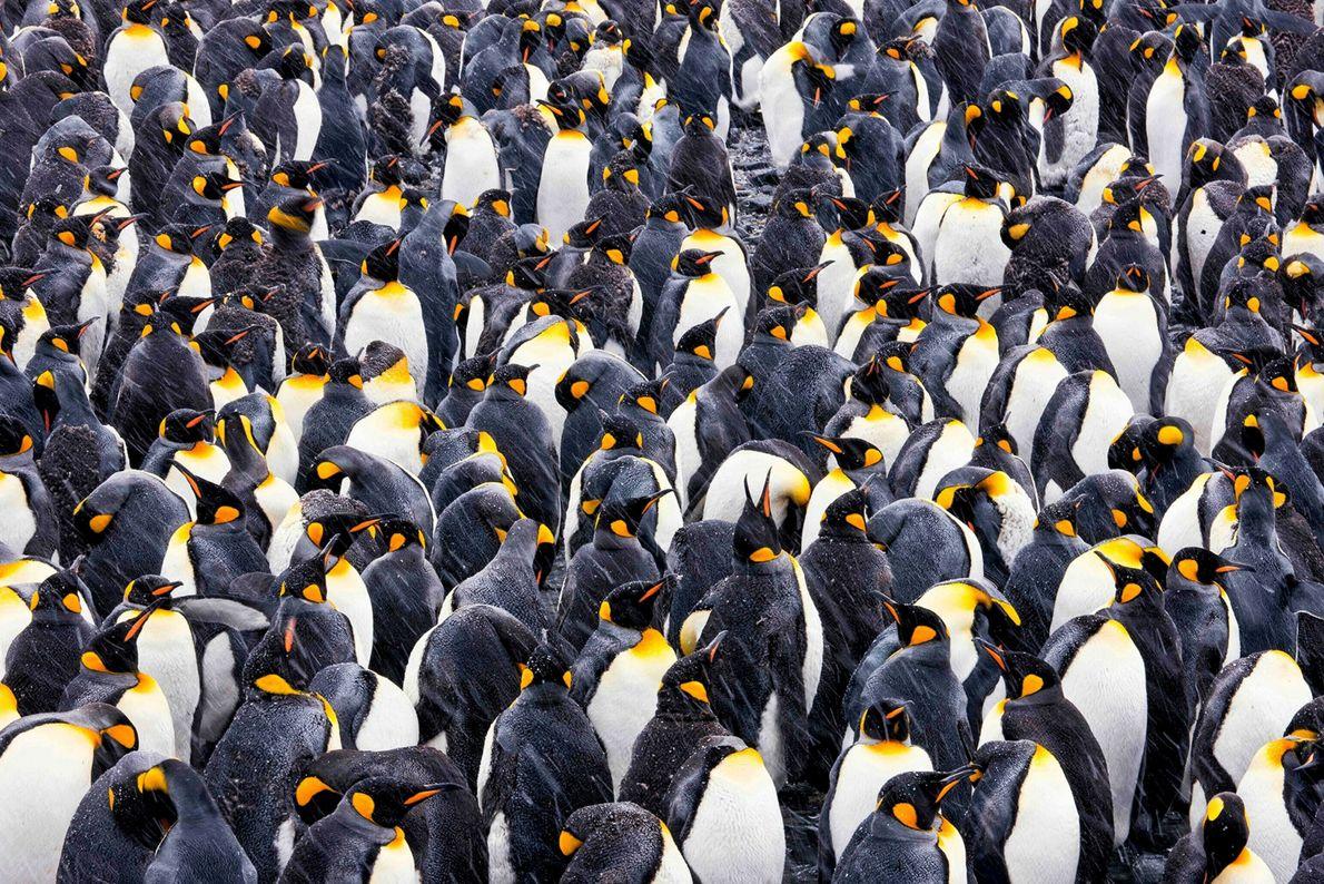 Königspinguine versammeln sich in einer Kolonie in Gold Harbor auf der Insel Südgeorgien in der Antarktis.