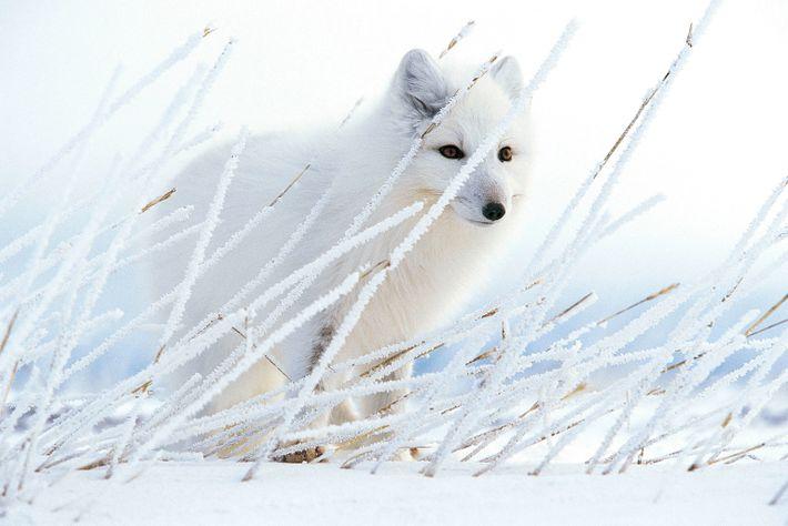 Versteckt hinter Weidelgras, das von Raureif bedeckt ist, lauscht ein Polarfuchs nach Mäusen unter der Schneedecke ...