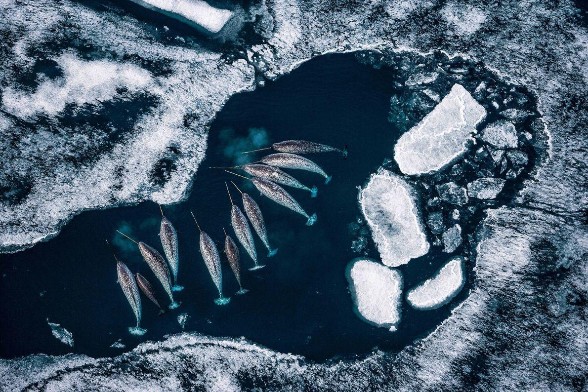 Männliche Narwale rasten in Kanadas Admiralty Inlet. Im Frühjahr, wenn sich das Packeis zurückzieht, drängen Narwale ...
