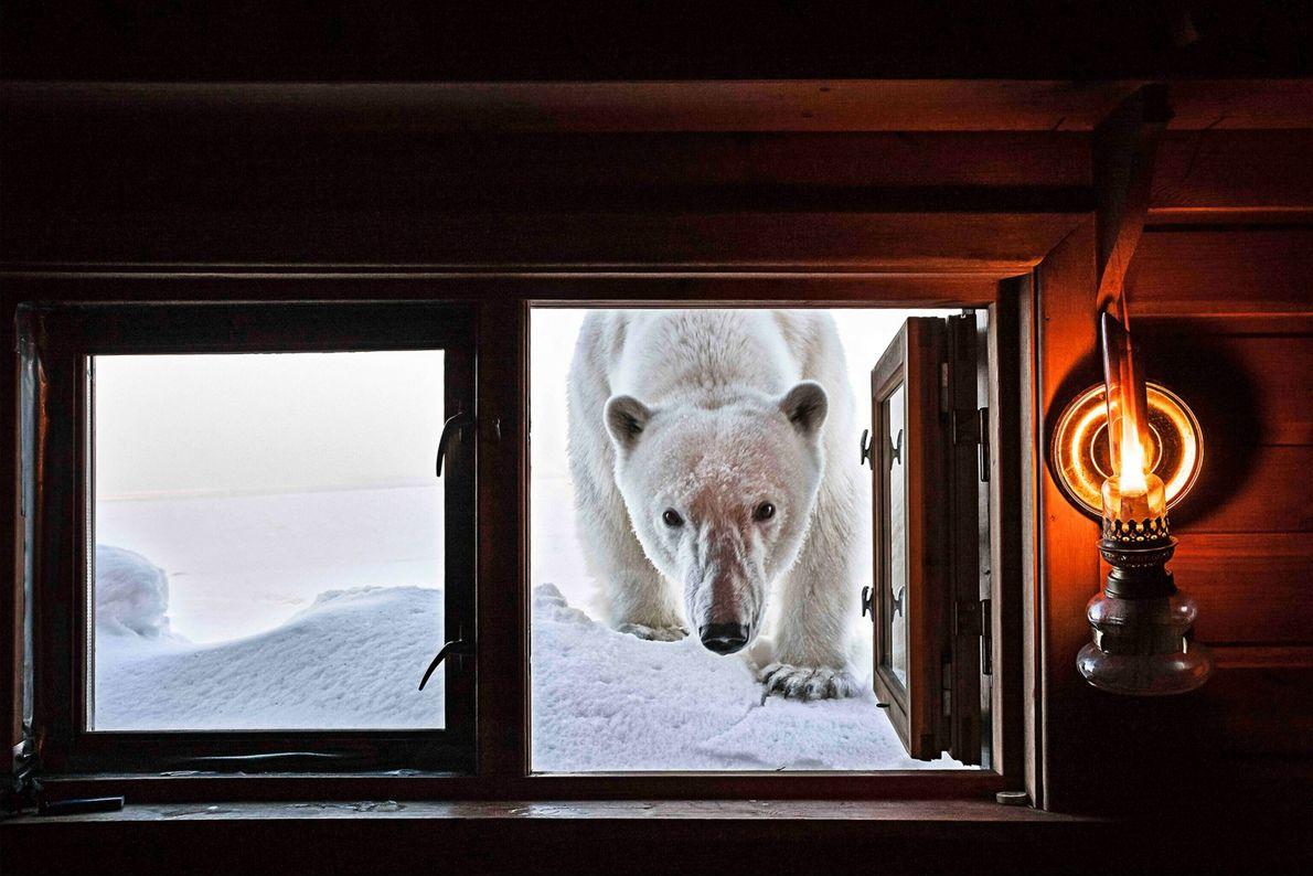 Dieses Eisbärenweibchen inspiziert einen menschlichen Eindringling und steckt den Kopf in die Hütte des Fotografen Paul ...