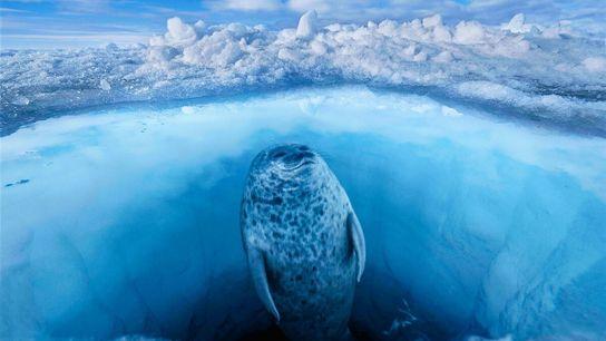 Eine Ringelrobbe hält nach Eisbären Ausschau, bevor sie vor Baffin Island in der kanadischen Arktis zum ...