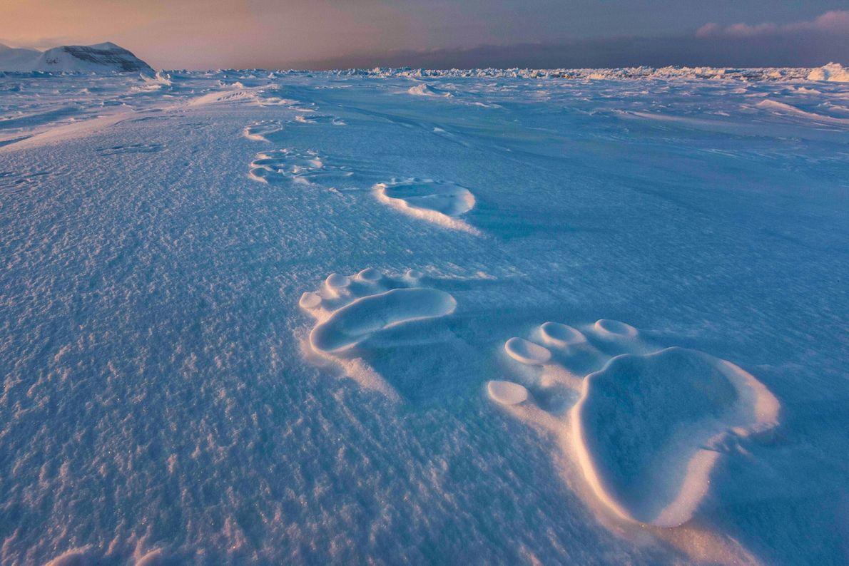 Riesige Pfotenabdrücke zeigen den Weg eines Eisbären auf Spitzbergen. Auch an der Unterseite der Pfoten eines ...