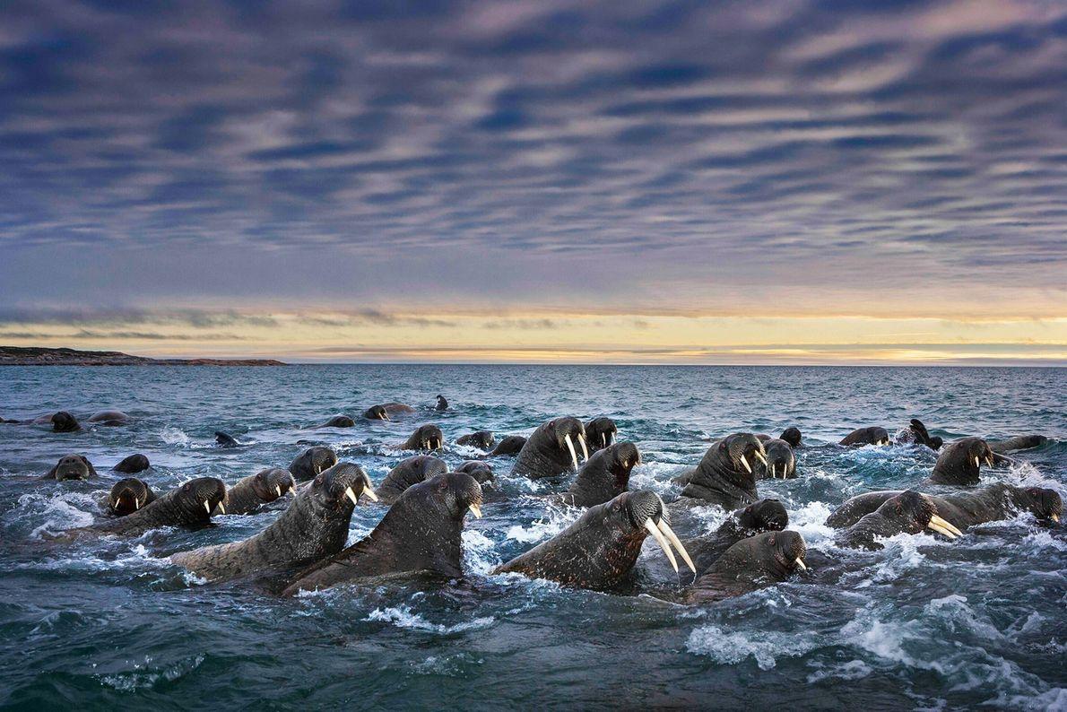 Stoßzähne aller Längen deuten auf die Altersunterschiede zwischen diesen Walrossen auf Spitzbergen hin. Anfang des 20. ...