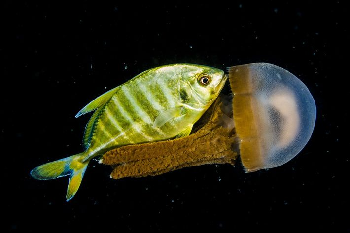 In der Tiefsee vor der philippinischen Küste schwimmen eine junge Makrele und eine Qualle. Die Fotografen ...