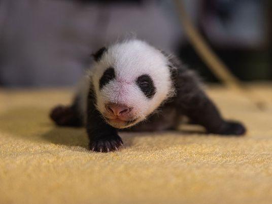 Vom Würmchen zum Bären: So verläuft eine Panda-Kindheit