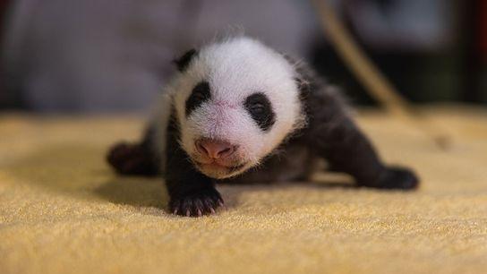 Panda Jungtier