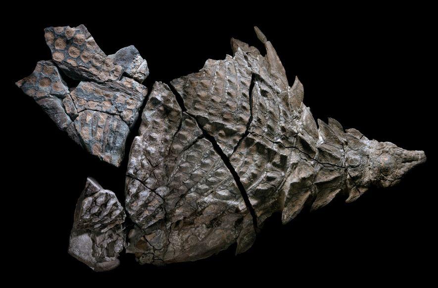 Zu Lebzeiten war der Nodosaurier etwa 5,5 Meter lang und circa 1.400 Kilogramm schwer. Die Forscher vermuten, dass er ursprünglich vollständig versteinerte. Bei seiner Entdeckung 2011 war aber nur die vordere Hälfte noch so gut erhalten, dass man sie bergen konnte.