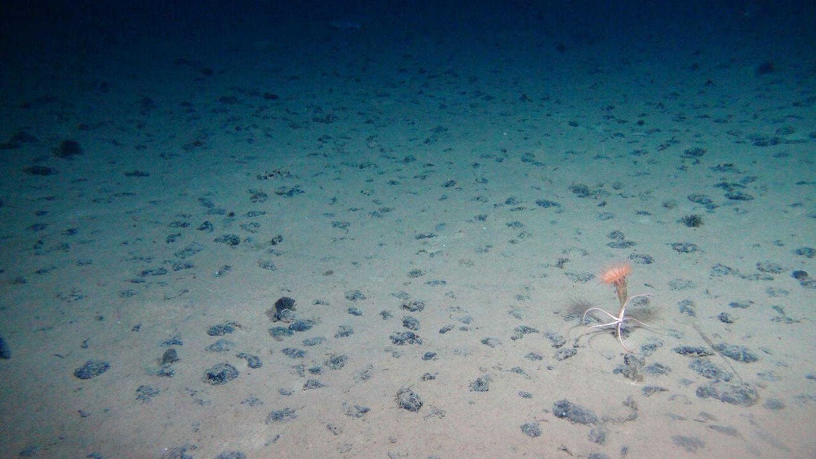 Manganknollen auf dem Meeresboden der Clarion-Clipperton-Bruchzone im Pazifik: ein wertvoller Lebensraum für Tiefseebewohner wie Schlangensterne und ...
