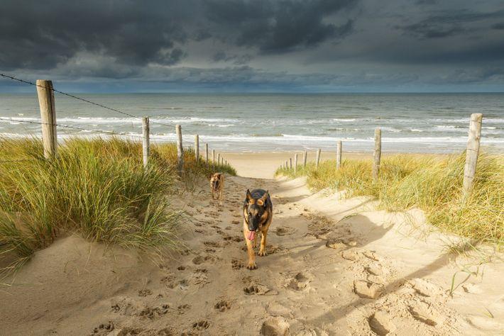 Foto von zwei Hunden, die vom Strand von Noordwjk in den Niederlanden kommen