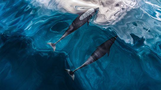 Nördliche Glattdelfine