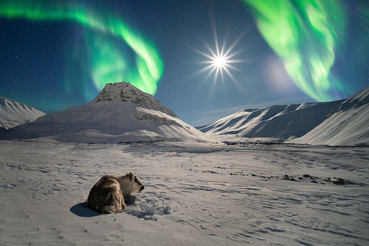 Ein Rentier badet im Licht des Vollmonds und der Aurora borealis auf Spitzbergen, einem arktischen Archipel ...