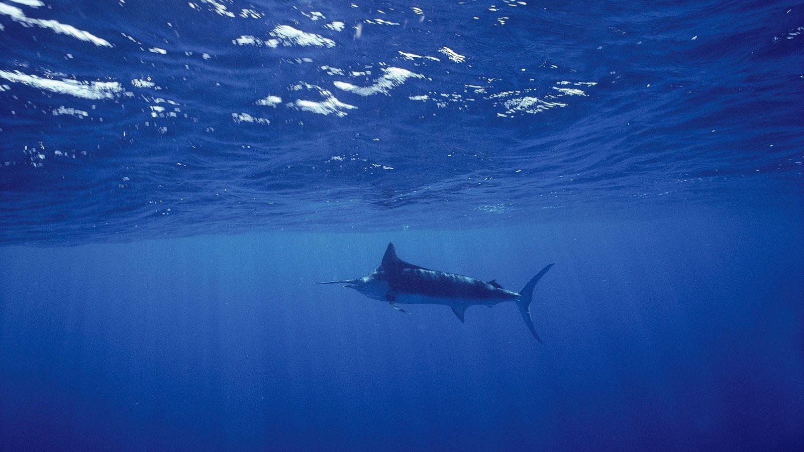Ein Blauer Marlin schwimmt im Golf von Kalifornien. Marline zählen zu den Fischen, die sich in ...