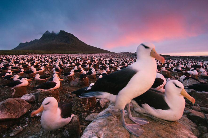 Eine Kolonie Schwarzbrauenalbatrosse ruht an der Küste des Steeple Jason Island auf den Falklandinseln. Auf diesem ...