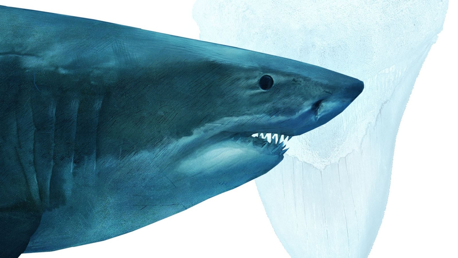 Einst war der Megalodon der Herrscher der prähistorischen Weltmeere. Die riesigen Tiere wurden bis zu 20 ...