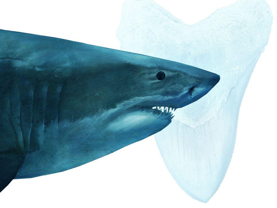 War der Weiße Hai schuld am Aussterben von Megalodon?