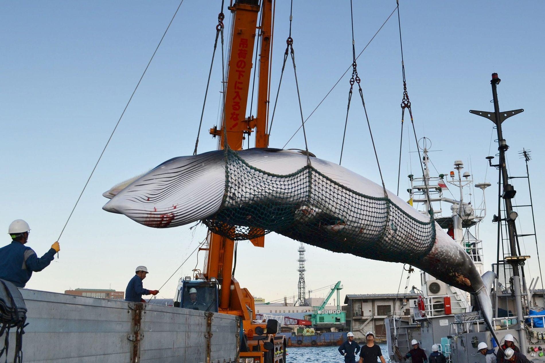 """Zwergwale wie diese, die in einem japanischen Hafen gerade an Land gebracht werden, wurden im Rahmen eines """"wissenschaftlichen Forschungsprogramms"""" immer wieder Ziel von japanischen Walfängern."""